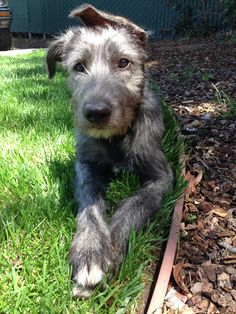 Our Irish wolfhound puppy. She has so much character! Irish Hound, Irish Terrier, Irish Wolfhound Puppies, Irish Wolfhounds, Cat And Dog Memes, Animals And Pets, Cute Animals, Scottish Deerhound, Dog Lady