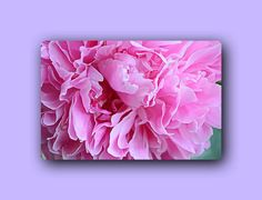 Photo of pink peony Pink flower Big flower nature Photo