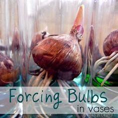 Forcing Spring Bulbs in Vases - Mad in Crafts.  Good gift idea, hostess gift, Mothers Day, thank you.