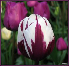 Purple & White Tulips