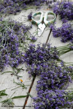 Darling, look. The lavender is being cut to put in stacks. doesn't it look pretty?  It's nice to know the right way to cut the stems....I need new scissors...............