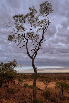 A tree if front of a stormy sky in outback Queensland. #tree #outback #australia #queensland