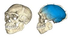An international research team, led by the Max Planck Institute for Evolutionary Anthropology in Leipzig, Germany uncovered fossil bones of Homo sapiens at Jebel Irhoud, Morocco. Homo Heidelbergensis, Homo Habilis, Anthropologie, Brain Shape, Human Fossils, Art Rupestre, Early Humans, Human Evolution, Evolution Science