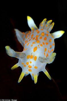 ウミウシ Sea slug