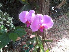 Essa orquidea era uma amiga que mudou do país e me deixou de presente
