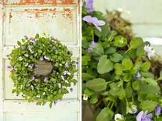 living wreath of violets -- put those pesky volunteers to a good use