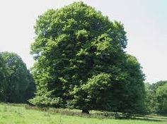Image from https://upload.wikimedia.org/wikipedia/commons/f/fd/Lime_tree_in_Hinton_Ampner_Park_-_geograph.org.uk_-_188048.jpg.