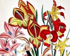 jane loudon botanical prints | Jane Loudon Gladiola, detail 1849 - still life quick heart