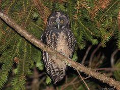 Stygian Owl (Asio stygius). Photo by Oz Horine.  Location: São Paulo, Brazil