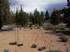 Surrounded by Junipers in the High Desert of Central Oregon, the coyote graces the landscape.