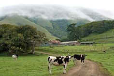 Cows on Gallagher Ranch near Point Reyes Station,Ca beneath fog- shrouded Black Mountain. Point Reyes Station, Carbon Sequestration, Agriculture, Farming, Marin County, Black Mountain, Green Bay, Compost, Climate Change