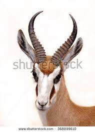 Springbok by Edwin Butter - Photo 138035763 - Mask Drawing, War Dogs, Animal Masks, Flora And Fauna, Beautiful Creatures, Giraffe, Deer, Images, Portrait