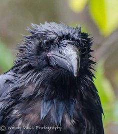 Your very soggy daily raven by Wendy Davis Photography