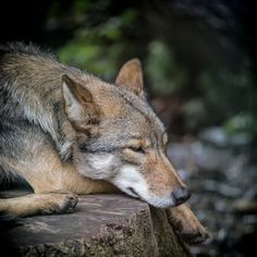 Eastern Wolf  (Canis lupus lycaon)