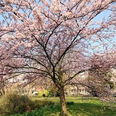Hyde Park Tree - @gatortail- #webstagram