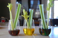 Watch the celery (or carnations/Queen Anne's Lace) soak up food coloring in this colorful science experiment: A Scientific Experiment with Celery and Food Coloring.