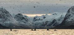 11-17-2015, Orcas in Grøtfjordvågen, Northern Norway by Anne Birgitte Fyhn.