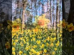 It's Daffodil Festival time at Gibbs Gardens in Ball Ground, #Georgia!