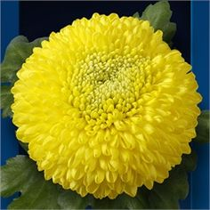 Chrysanthemum Blooms Yellow Boris Becker are a yellow, disbudded, single headed cut flower variety. 70cm tall & wholesaled in 10 stem wraps.