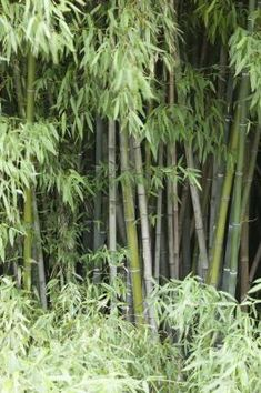 how to plant moso bamboo seeds - Growing Bamboo