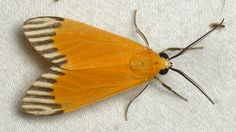 Tiger moth, Napata walkeri, from Ecuador: www.flickr.com/andreaskay/albums