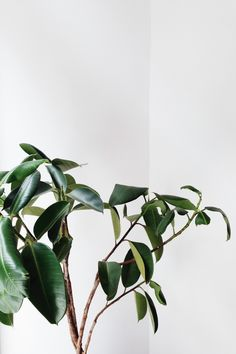 Rubber plant, ficus elastica - easy to grow, hard to kill, improves your home's air quality