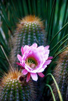 flora-file: Echinopsis thelegona (by plantmanbuckner) Cactus Blossoms, Cactus Flower, Flower Pots, Cacti And Succulents, Planting Succulents, Planting Flowers, Cactus Planta, Cactus Y Suculentas, Agaves