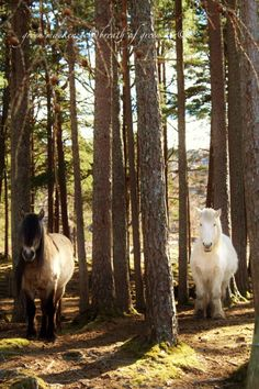 Beautiful and gentle Highland Ponies, Scotland