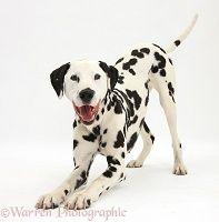 Playful Dalmatian dog