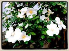 """Sharons Delight - """"My plant is growing in a large pot, and stands about 3 feet tall, covered in pure white blossoms. It is very beautiful, and will appeal especially for people who like single blooms."""" """"It has proven itself to be a fine, compact shrub with excellent repeat of bloom. It seems to be perfectly winter hardy, and quite disease resistant as well. I'm pleased with it, and would recommend it highly."""""""