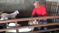 Daging Kambing Qurban yang Ini Ternyata Tidak Berbau