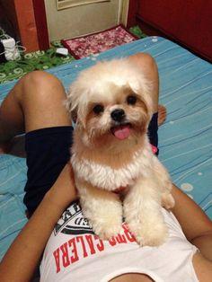 Wendy my dog shih tzu