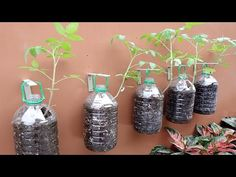 Growing Tomatoes on Wall with Plastic Bottles - Easy Way for No Space at. Growing Tomatoes, Growing Plants, Monster Cookie Bars, Hanging Plants, Hydroponics, Plastic Bottles, Bloom, Make It Yourself, Space
