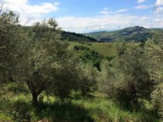 The Olive Grove in early May. The flowers are gone and the olive drupes are still tiny.