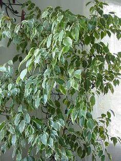 Ficus Benjamina coltivazione consigli cure moltiplicazione talea annaffiature terreno clima ficus beniamina benjamin foto malattie parassiti rinvaso