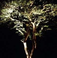 Uplighting a plum tree in a lawn.