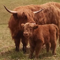 American Beef, Gyr, Highland Cattle, Beef Cattle, Highlanders, Scottish Highlands, Fun Learning, Farm Life, Cows