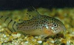 Cory Catfish! The only cute catfish out there LOL! Learn to breed Cory Catfish at www.tanktips.weebly.com