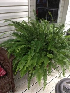 How to care for and grow large FERNS.