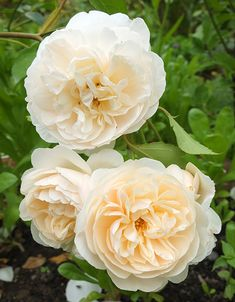 David Austin's English rose: 'Lichfield Angel.' Vigorous rounded shrub with apricot buds, that open to reveal creamy white, dome-shaped blooms. Light, spicy scent. Repeat flowering. Available at North Haven Gardens.