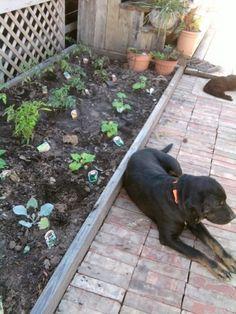 Lasagna gardening and box garden on pinterest - Lasagna gardening in containers ...