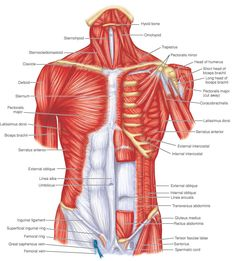 one of the most comprehensive flow charts of muscles and their origins, insertions, innervation, and actions