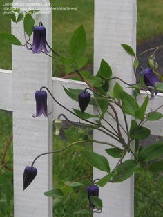 Small Flowered Clematis 'Rooguchi' Clematis integrifolia x reticulata ~ I was given some fresh seeds from a friends garden...hoping I can get them to grow! Clematis can be tricky...