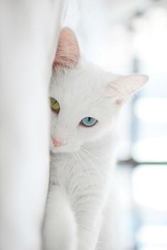 White Cat, love the eyes Cute Kittens, Cats And Kittens, Ragdoll Kittens, Bengal Cats, Hairless Cats, Sphynx Cat, Pretty Cats, Beautiful Cats, Pets