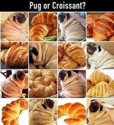 Hoooo boy, all those cozy cuddly rolls on a pug do look so very croissant like.