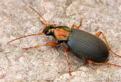 Chlaenius sp., besouro do chão. Urbana, Illinois, USA.