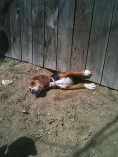 Sneaky beagle! BUSTED! Beagles are great escape artist! I could see my beagle doing that! I just LOVE beagles!!