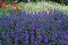 Caryopteris clandonensis 'Ferndown' - night-scented garden