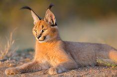 Caracal Caracal, New York Zoo, Wild Cat Species, Kinds Of Cats, Cat Breeds, Big Cats, Habitats, Wildlife, Interesting Animals