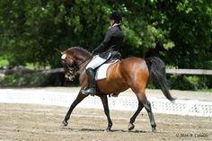 Diego - Magnificent sport pony to do the FEI Pony Division in style! A schoolmaster who tolerates mistakes and rewards good riding, yet has talent and an honest work ethic for a motivated rider! $24,000